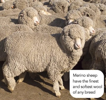 Full wool Merino sheep