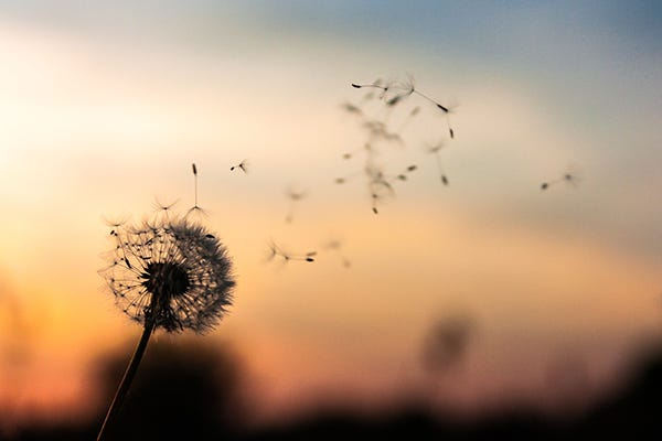 A shallow focus image of a dandelion blowing in the wind