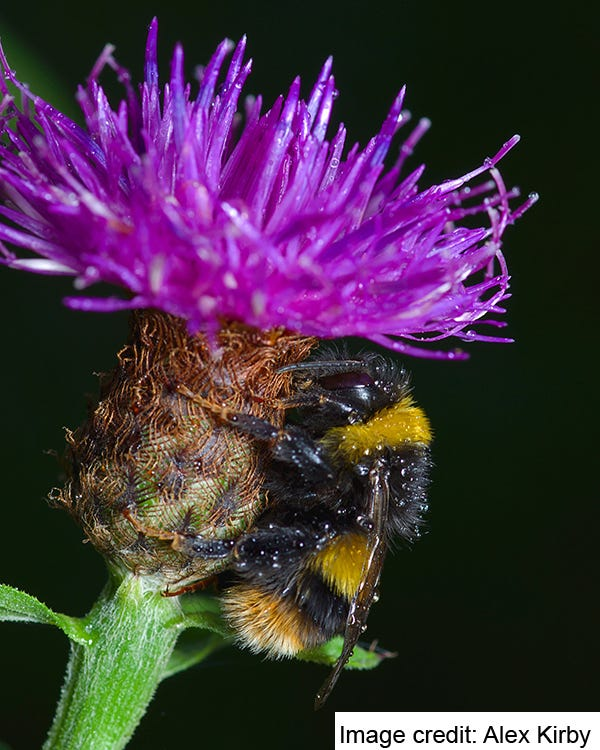 Buff-tailed Queen (Bombus terrestris). Taking Shelter. Image credit: Alex Kirby