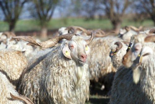 A herd of Mohair goats