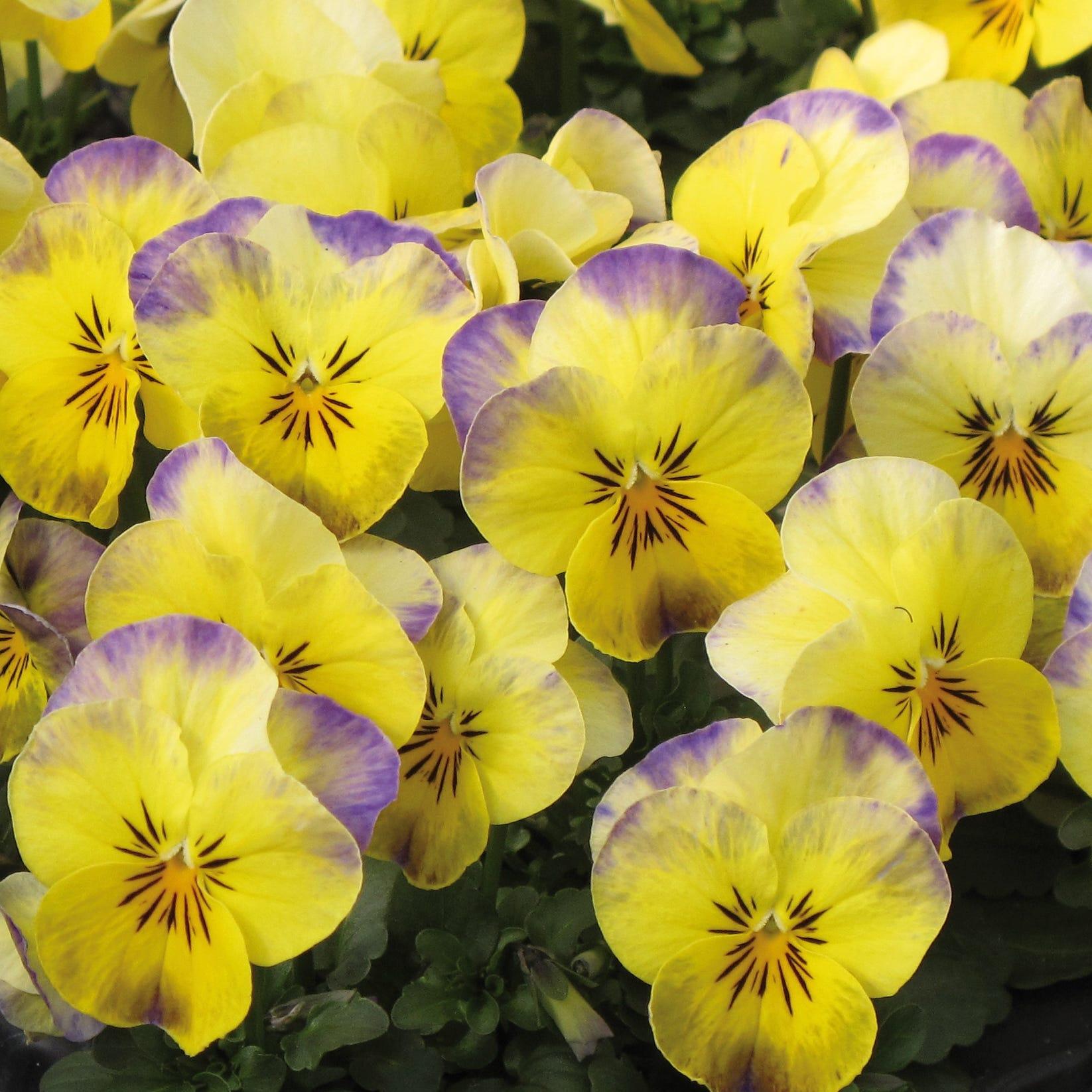 Viola Twix Lemon Swirl