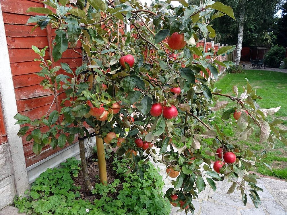 Scrumptious apple tree