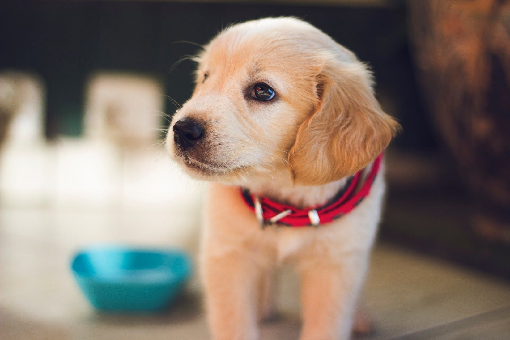 A puppy with a red collar
