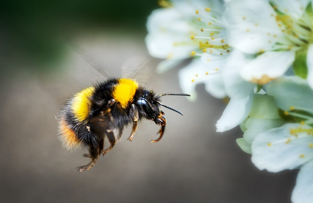 Flying bumblebee in spring on fruit tree blossom