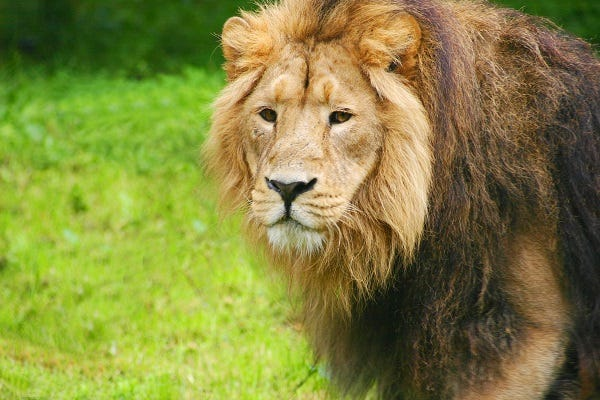 Lion at Chester Zoo