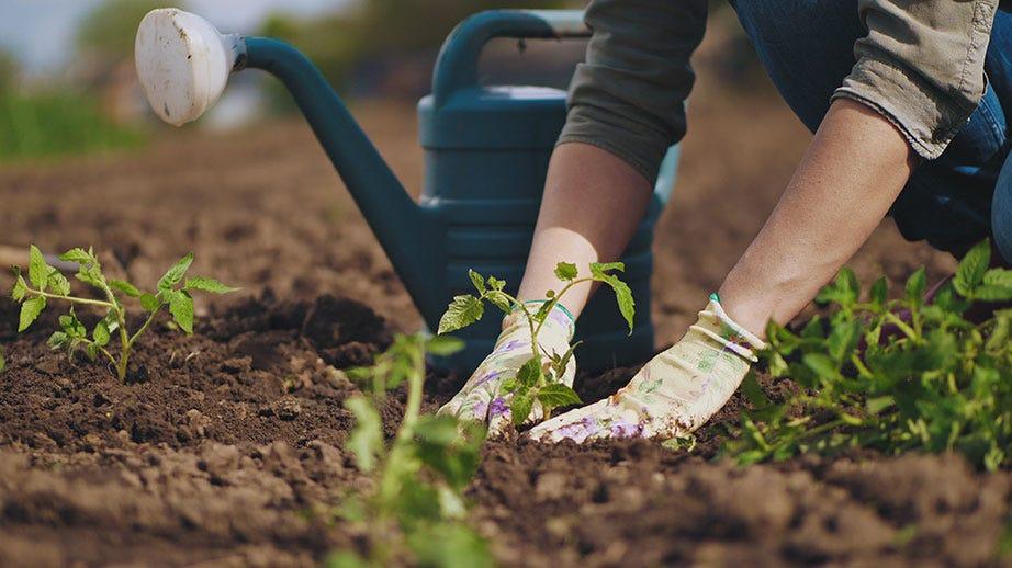 Hands planting tomato seedling in soil in garden