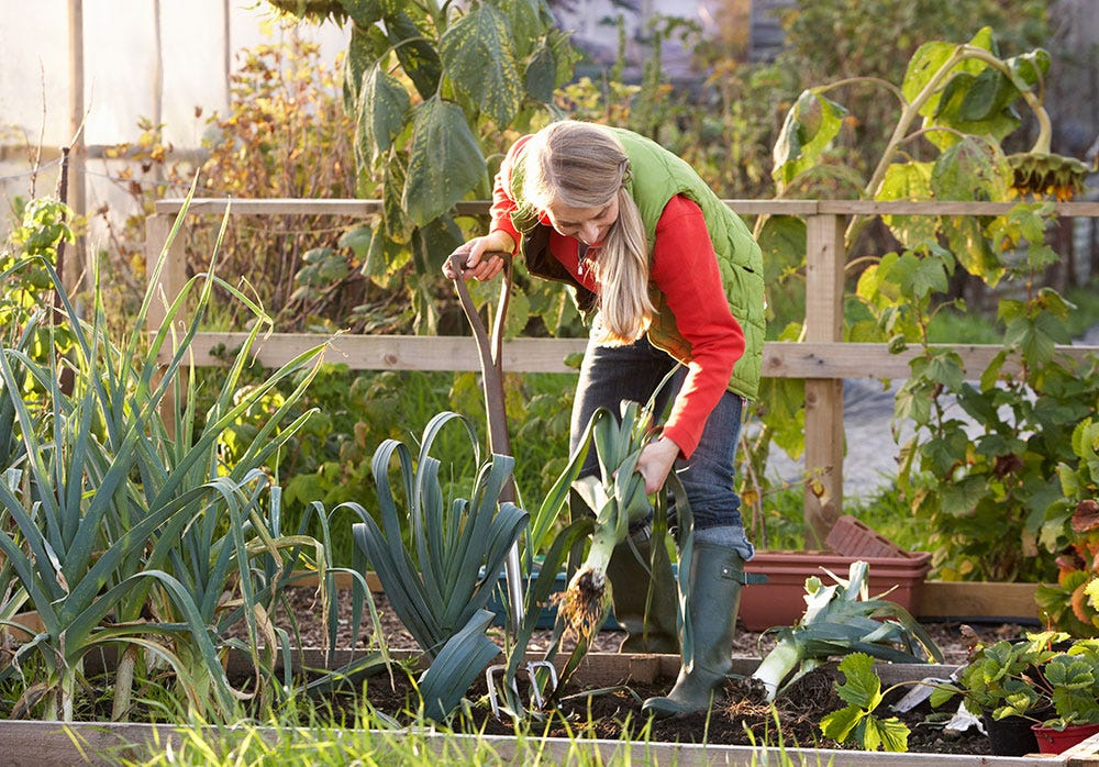 Woman gardening on allotment