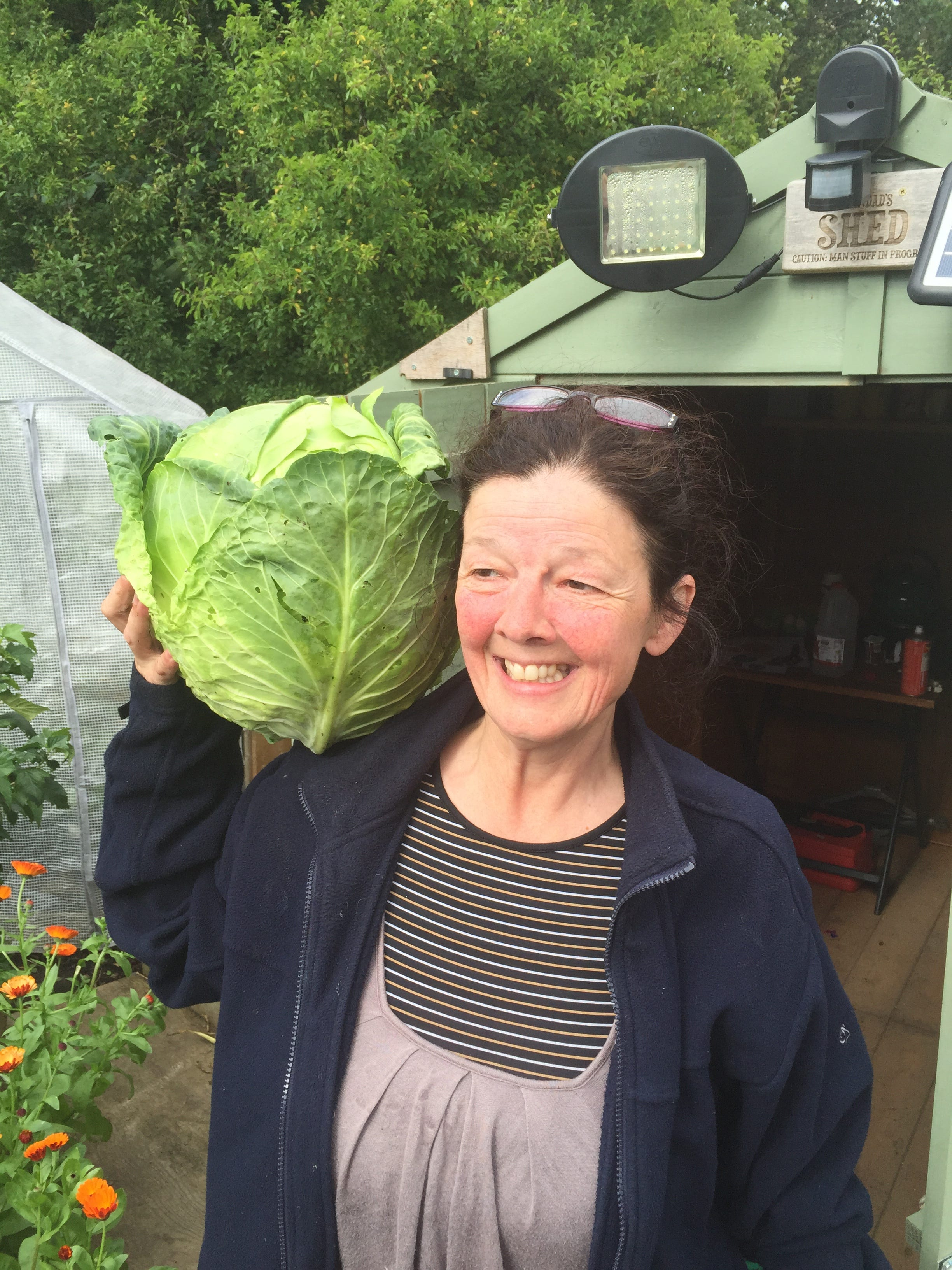 Homegrown cabbage at allotment