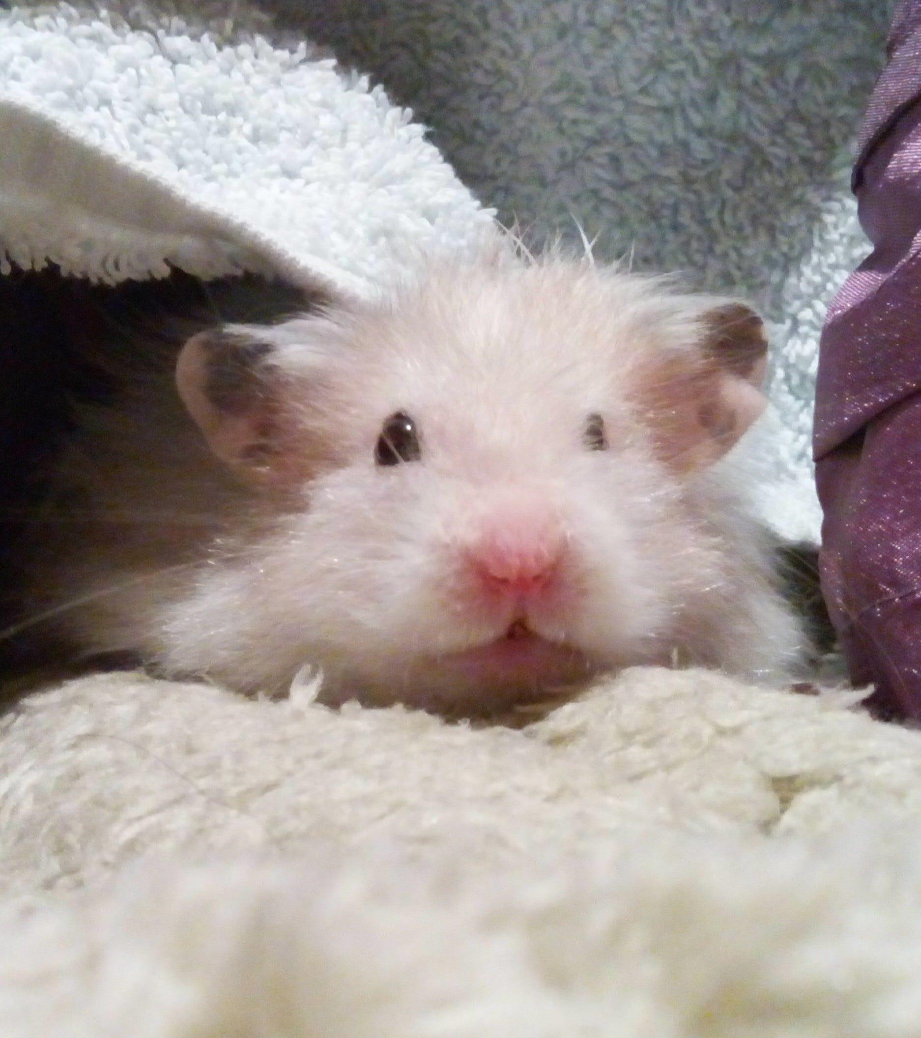 Dobby the hamster