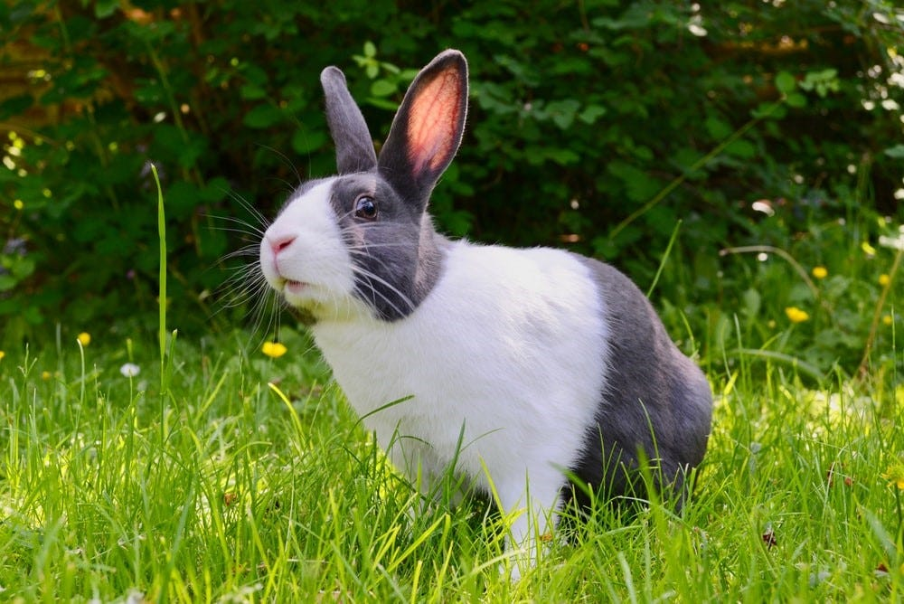 A white and grey rabbit on the grass
